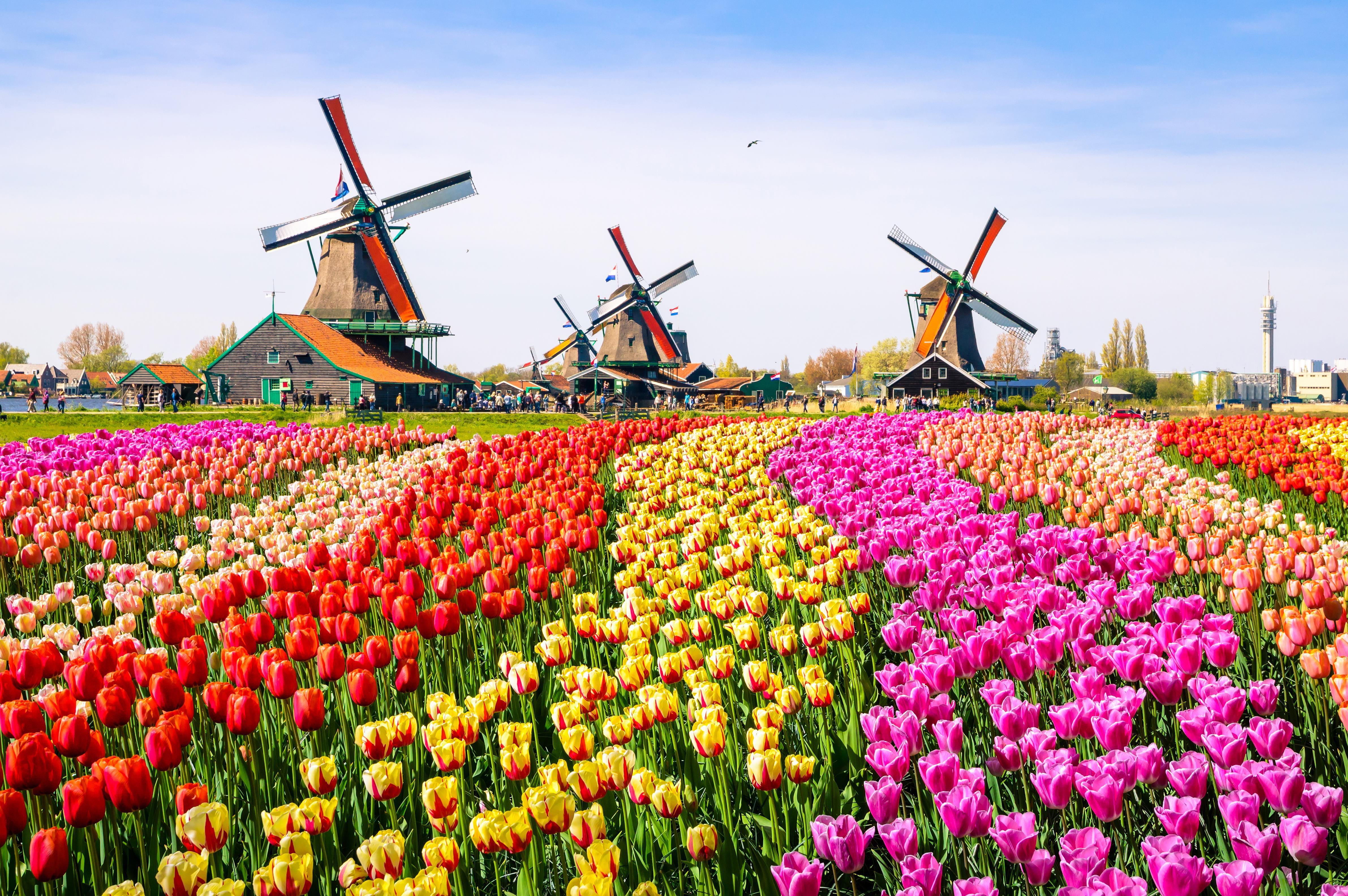 Na jaře kvete celé Nizozemí. Nejoblíbenější květinou je bezesporu tulipán