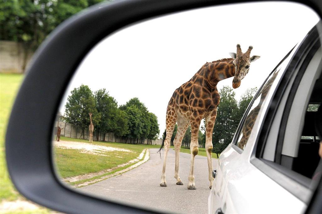 Projíždí se mezi žirafami,zebrami i lvi