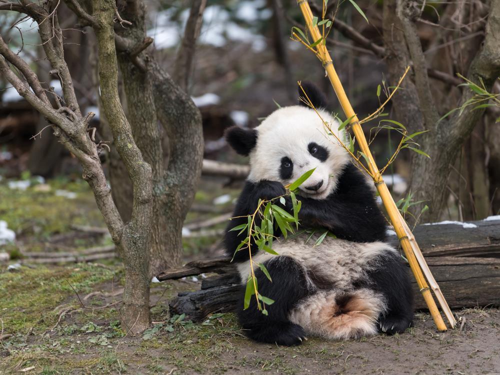 V roce 2016 se místním pandám narodila dvojčata Fu Feng a Fu Ban,což je světovým unikátem