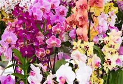 Na výstavě uvidíte 100 000 květů orchidejí