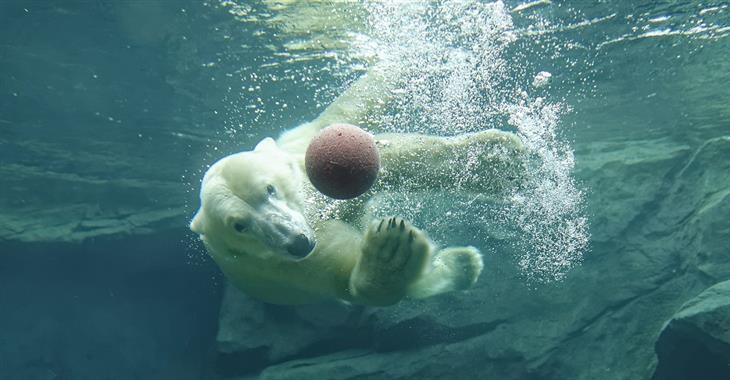 Obří pavilon ledních medvědů dovoluje pozorovat tyto bílé chlupáče i při potápění