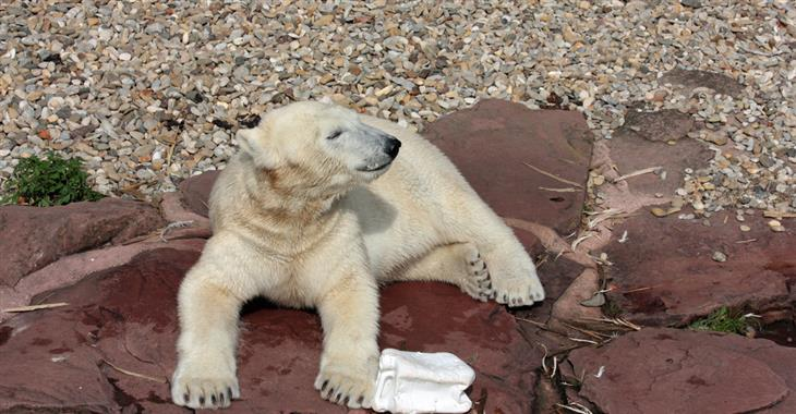 Sledovat můžete krmení ledních medvědů i jejich dovádění ve vodě